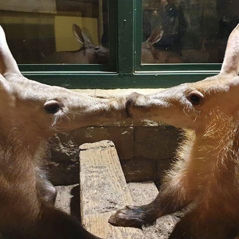 aardvark love