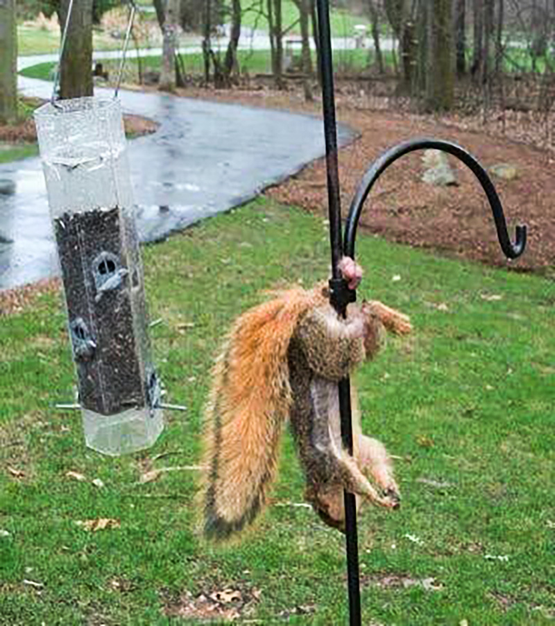 squirrel balls