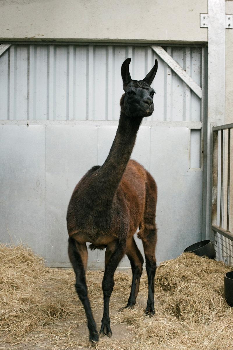 Handout photo of llama named Winter in Belgium